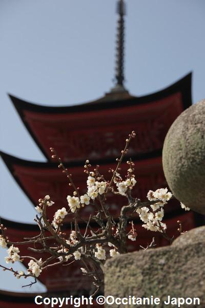 sakura - o hanami - japon occitanie