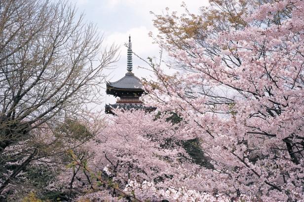 ueno-sakura-tokyo